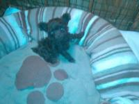 BEAUTIFUL AKC TEACUP POODLE, CHOCOLATE MALE, 9 WEEKS