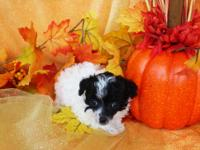 AKC reg. Teacup poodle. This is the tiniest little