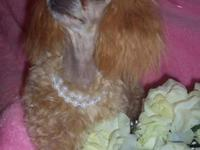 AKC signed up teacup poodle young puppies, 2 chocolate