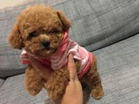 Beautiful Teacup Red Poodle She will about 3.5 pounds
