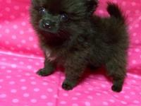 Tiny black brindle Pomeranian puppy for sale. Teacup