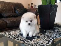 AKC white Female, she is so sweet, Her Dam AKC Ch Line