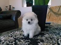 AKC white Female Pom puppy, she is so sweet, Her Dam