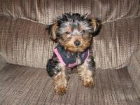 AKC Teacup Male Yorkie, weighing just 1 lb today