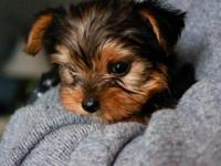 I have a TeaCup Yorkie for sale. She is 7 weeks old and