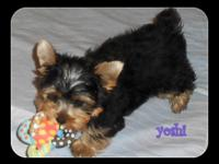 Full AKC Registration. I have a teacup male Yorkie, he