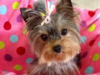 Cute tiny AKC yorkie lady. Born Sept 16 2013 ... full
