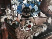 AKC Teacup Yorkie puppies. Females and males. Adorable