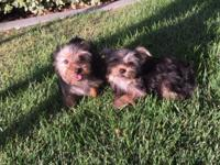 Credit cards or cash accepted Beautiful male yorkie