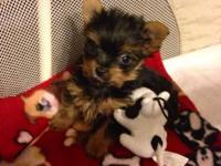 "YORKIE PUPPY * LAST ONE! (READ FULL AD ""prior to"