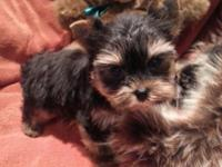 I have 4 beautiful tiny yorkie puppies available they