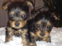 Beautiful baby doll face Yorkie! They will have a
