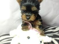 AKC Yorkies for sale, teacup and toy size, tail docked,