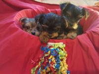 I have a gorgeous litter of extra small Yorkies. The