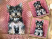 AKC Teacup Yorkies Black & & Tan . Carries for