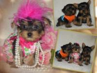 AKC Teacup Yorkies Black & & Tan Shade Delicious