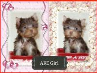 "Adorable Teacup Yorkies Rare Chocolate colors"". Carries"