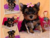 AKC T-Cup Yorkies Ready Now! Call for your appointment