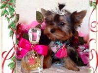 AKC Yorkie puppies ready now! $900. boys &1200. and up