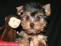AKC reg tiny male Yorkshire terrier Will mature to 4 to