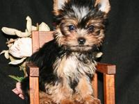 AKC reg Teacup female multiple champions in pedigree