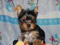This is a sweet little teacup Yorkshire Terrier male.