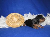 WOW....EXTREMELY TINY, GORGEOUS YORKIE PUPPY!!! This