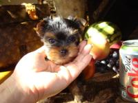 BEAUTIFUL TINY TEACUP MALE YORKIE/YORKSHIRE TERRIER AKC