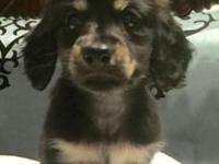 Tinsley is a Sweet little AKC long hair miniature