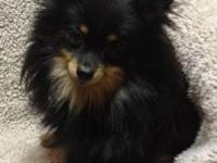 AKC registered black & tan Pomeranian, she is less then