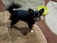 1 yr old Tri color Long coated AKC Chihuahua Pad