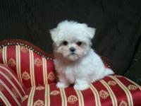 Tiny, Teacup Maltese baby girl. Big eyes, Babydoll face
