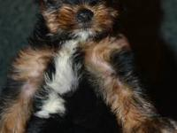 I have 3 TINY female Yorkies for PET only. They were