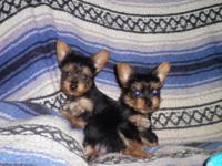AKC Reg. Tiny male yorkie looking for a good home! He