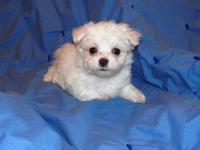 Perfect, tiny AKC Maltese boy! Parents are both 3 lbs.