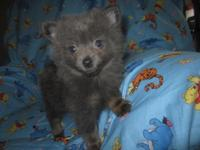 Meet Zack! He is a beautiful blue Pomeranian puppy,