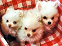 AKC Quality, Tiny Pomeranian Puppies For Sale: DOB