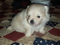 Beautiful white AKC Pomeranian male born 9-16-2015.