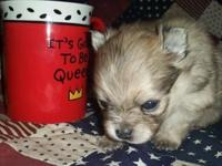 Fidget is a tiny cream sable female, born Sept. 16,