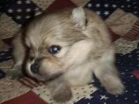 Tartan is a tiny cream sable male, born Sept. 16, 2015.