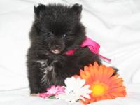 Full AKC registration! Sassy is a tiny, quality little