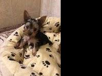 Two tiny AKC Yorkie males born on 09-29-13. Mother and