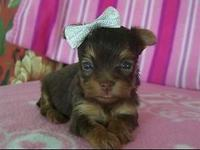 I have a adorable chocolate tiny, tiny teacup female