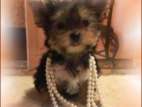 TEACUP YORKIE GIRL This Gorgeous little girl is VERY