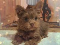 Wow Teacup Isabella Chocolate Yorkie!!!