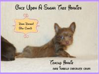 TIny CKC Teacup Yorkie boys chocolate carriers One TINY