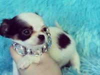 Beautiful long coat toy chihuahua male. Very sweet and