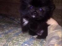 Tiny black female and small sable female toy Pomeranian