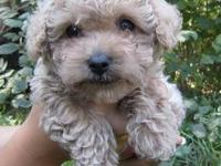 AKC TINY TOY POODLE Location: Deer Park, Washington