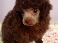 Akc full reg. tiny toy poodle male. Chocolate in color